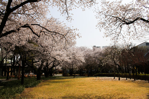 GyeongSang Gamyeong Park - Cherry Blossom