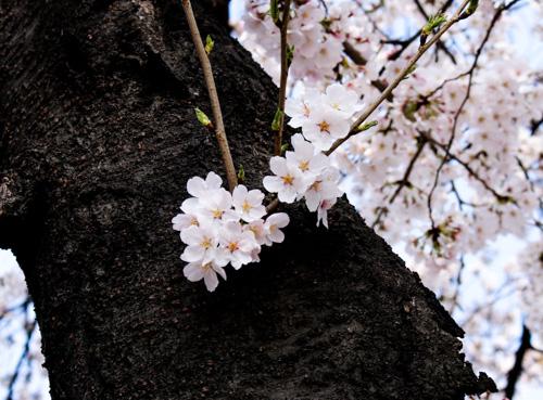 Cherry Blossom at Duryu Park