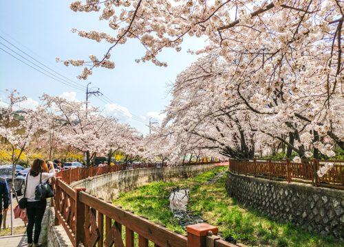 Jinhae Day Trip