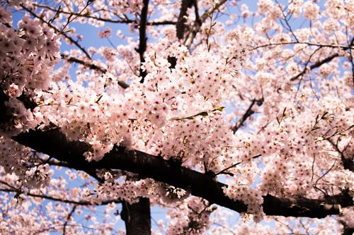 Yeojwa Stream, Romance Bridge - Cherry Blossom