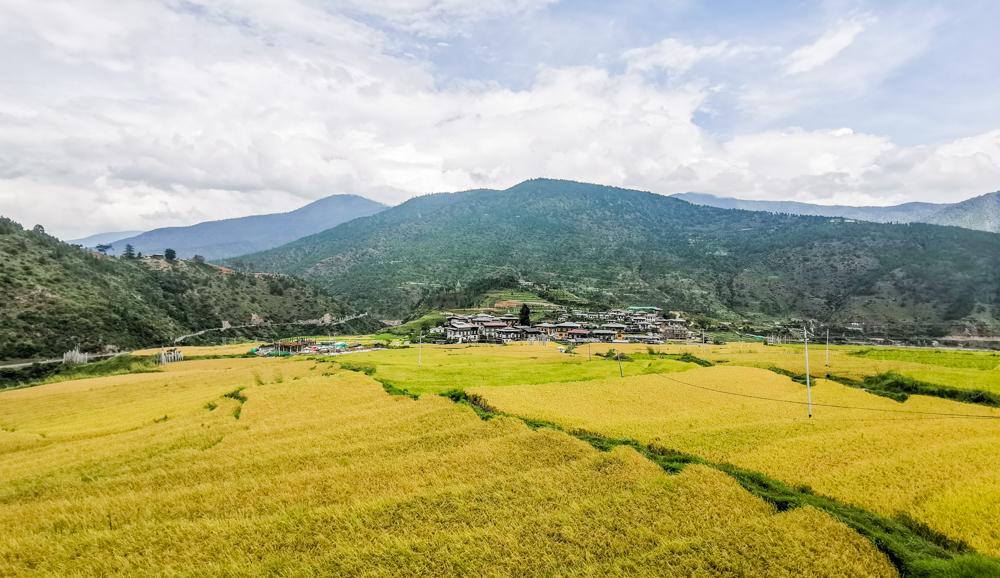 Rice Paddy Field in Punakha